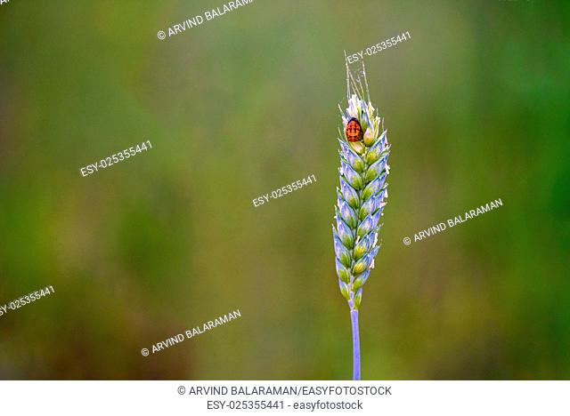 A pretty lady bug perching on the top of a bud