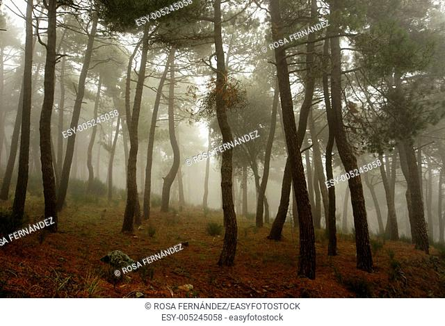 Pine forest with Maritime pines, Pinus pinaster, in the mist, San Lorenzo del Escorial, Guadarrama Mountains, Madrid, Spain