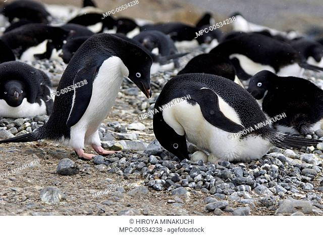 Adelie Penguin (Pygoscelis adeliae) pair engaging in courtship ritual before trading incubation duties at nest, South Georgia. Sequence 3 of 10