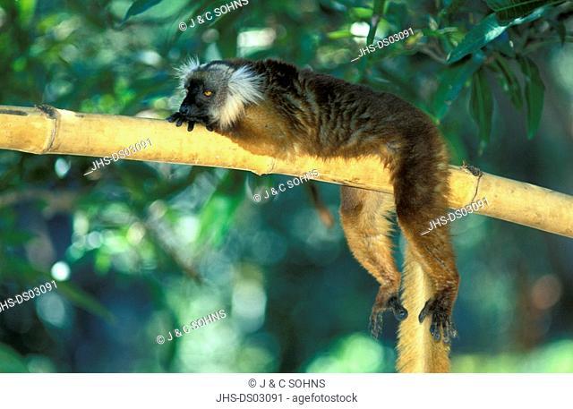 Black Lemur,Lemur macaco,Nosy Komba,Madagascar,Africa,adult female resting on tree