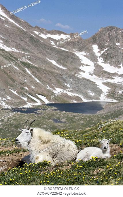 Mountain goat Oreamnos americanus, nanny and kid bedded down,overlooking Abyss Lake, Mount Evans Wilderness Area, Colorado, USA