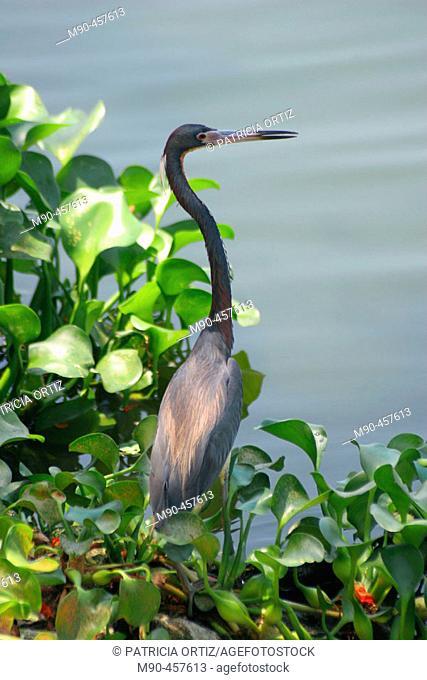 Little Blue Heron (Egretta caerulea). La Venta Park, Villahermosa. Tabasco, Mexico