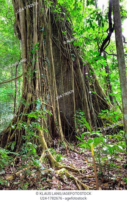 Tree Trunk in Primary Dipterocarp Rainforest, Danum Valley Conservation Area, Borneo, Sabah, Malaysia