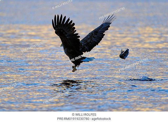 White-tailed Eagle, Haliaeetus albicilla, Norway / Seeadler, Haliaeetus albicilla, Norwegen