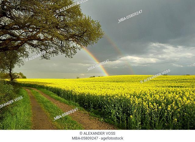 Germany, Schleswig Holstein, district of Plön, rape field, rainbow