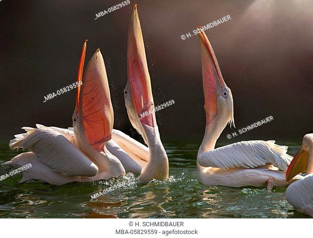 Frizzy head pelicans, Pelecanus crispus, fishing together