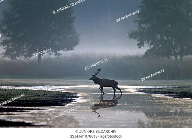 Red Deer (Cervus elaphus). Stag crossing a small river in early morning light. Saxony, Germany