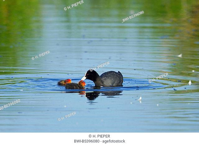 black coot (Fulica atra), feeding chick on the water, Germany