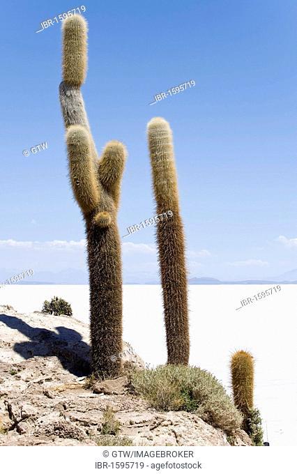 Isla del Pescado or Incahuasi island with Trichocereus pasacana cactus, Salar de Uyuni, Potosi, Bolivia, South America