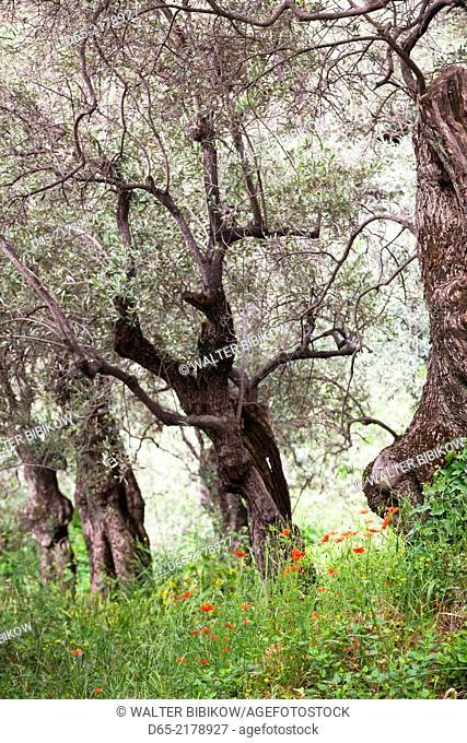 Greece, Thessaly Region, Ano Gatzea, Pelion Peninsula, olive grove