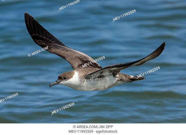 Great Shearwaters - Ardenna gravis - foraging for bunker or Menahden fish along Race Point - Cape Cod National Seashore - MA in AugUSt - A common seabird off...