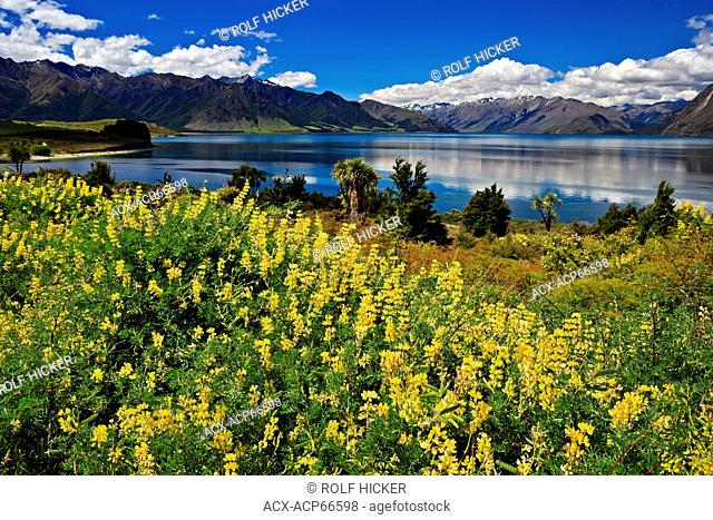 Yellow Tree Lupins (Lupinus arboreus), Lake Hawea, Central Otago, South Island, New Zealand