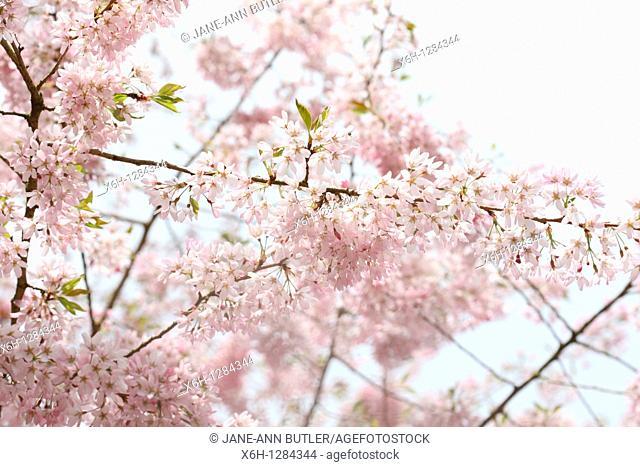 Gorgeous Prunus Pendula Stellata, the Spring Cherry