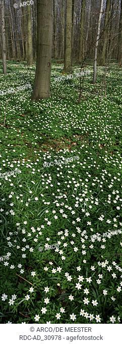 Wood Anemones in deciduous forest Belgium Anemone nemorosa