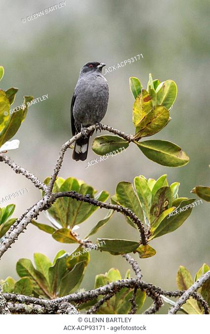 Red-crested Cotinga (Ampelion rubrocristata) perched on a branch in Manu National Park, Peru
