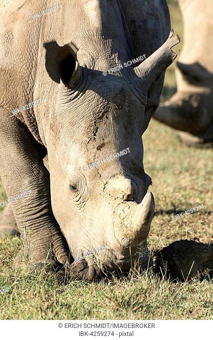 White rhinoceros or square-lipped rhinoceros (Ceratotherium simum), feeding, portrait, Lake Nakuru National Park, Kenya