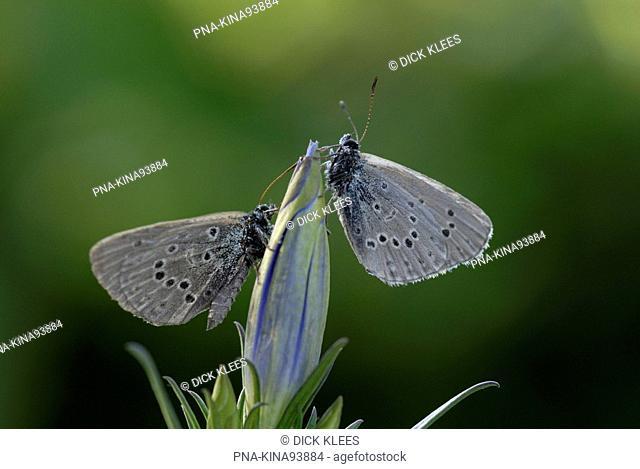 Alcon Blue Maculinea alcon - Regte Heide, Goirle, North Brabant, The Netherlands, Holland, Europe