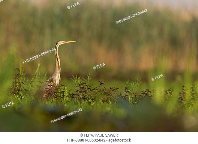 Purple Heron (Ardea purpurea) adult, standing on marshland, Danube Delta, Romania, June