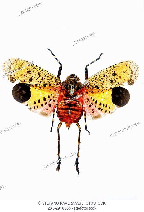 Lanternfly/Lantern Bug in resin