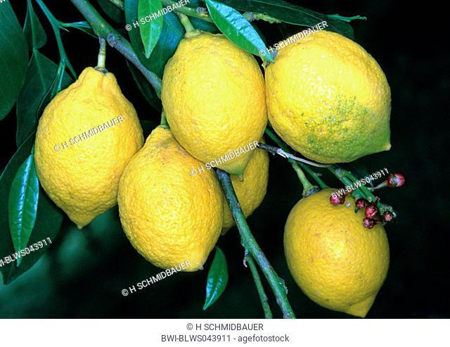 lemon Citrus limon, fruits on a tree