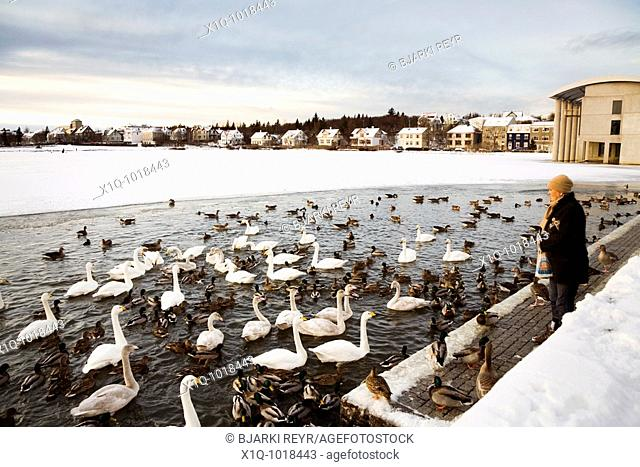 Woman feeding the birds some bread on Tjornin lake  Downtown Reykjavik Iceland