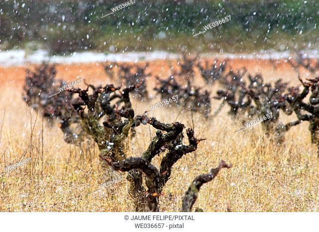 Snow on vineyard. Torrelles de Foix, Alt Penedès. Barcelona province, Catalonia, Spain