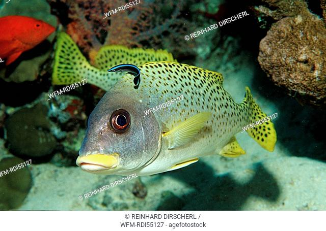 Blackspotted sweetlip with cleaner wrasse, Plectorhinchus gaterinus, Labroides dimidiatus, Africa, Red Sea, Sudan