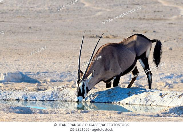 Gemsbok (Oryx gazella), drinking at a waterhole, Etosha National Park, Namibia, Africa