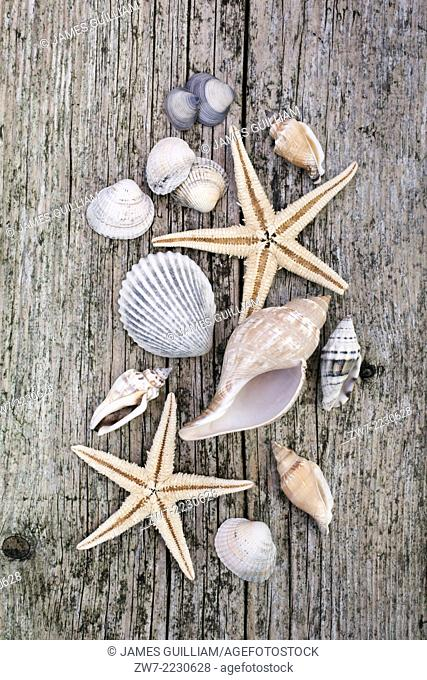 Sea shells and Starfish on weathered timber decking