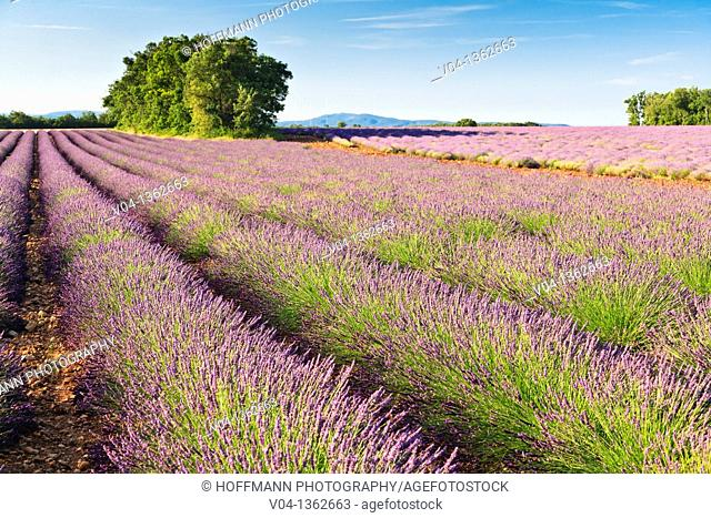 Lavender field in Provence, France, Europe