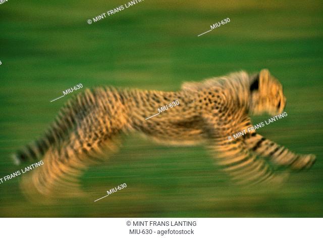 Cheetah running, Acinonyx jubatus, Masai Mara Reserve, Kenya