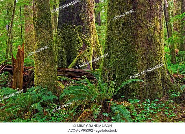 Old growth temperate rain forest Carmanah-Walbran Provincial Park British Columbia Canada