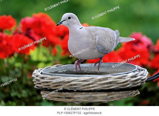Eurasian Collared Dove (Streptopelia decaocto) drinking from garden bird bath in summer