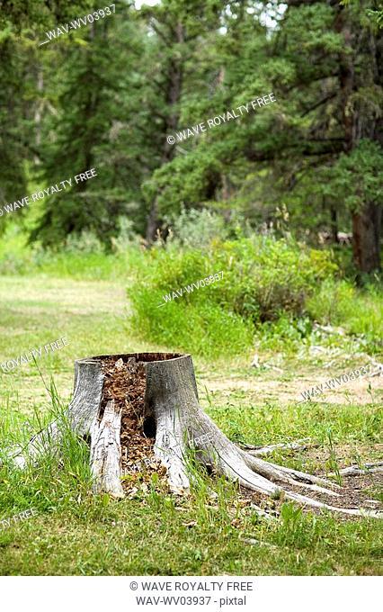 Tree stump at Fort Walsh, Saskatchewan in Cypress Hills