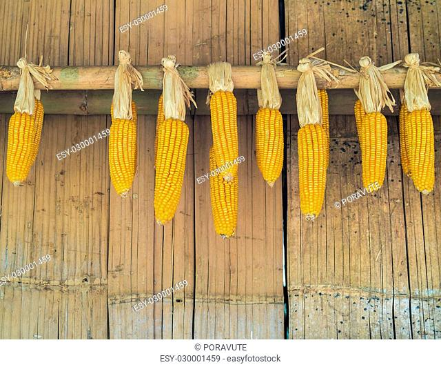 Ripe Dried Corn Cobs Hanging on Old Bamboo Wall in Countryside
