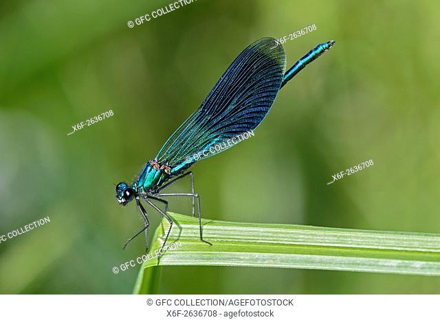 Banded demoiselle damselfly (Calopteryx splendens), male, Broad-winged damselflies (Calopterygidae), Versoix, Canton of Geneva, Switzerland