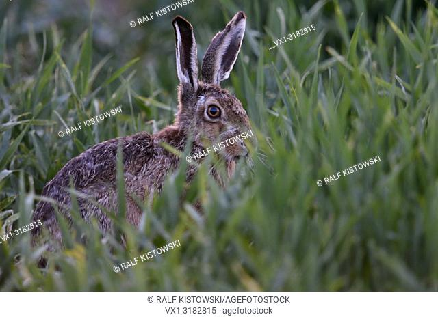 Brown Hare / European Hare ( Lepus europaeus ) hiding in, feeding on winter wheat, at dusk, late in the evening, anxious