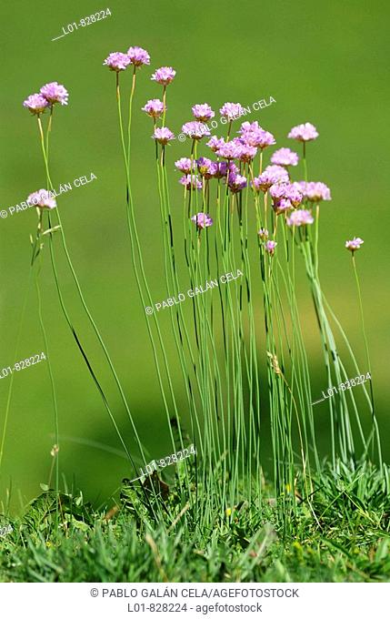 Armeria arenaria, Pyrenees Mountains