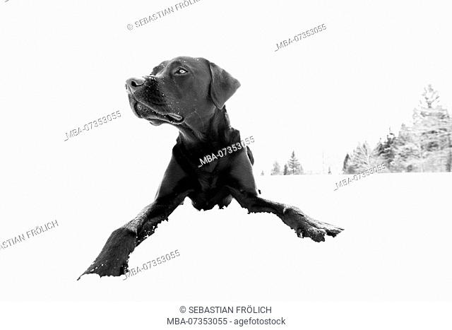 Black Labrador sitting in the snow, paws stretched forward