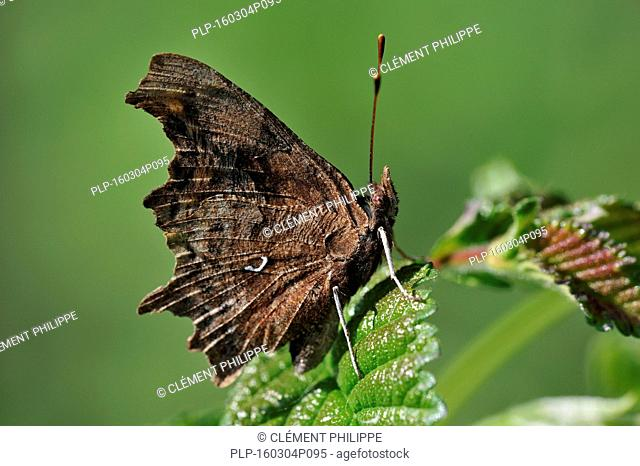 Profile of Comma butterfly (Polygonia c-album) resting on leaf