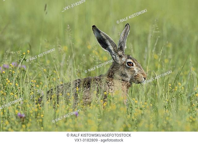 Brown Hare / European Hare ( Lepus europaeus ), adult, sitting in meadow with flowers, feeding on grass, at spring