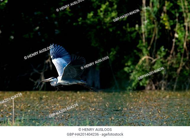 Grey Heron, Ardea cinerea, flying, 31/05/2009