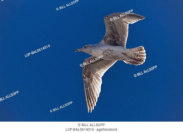 England, Norfolk, Sheringham. Immature Herring Gull flying under a blue sky