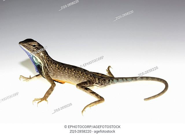 Fan-throated lizard, Sitana laticeps, Bopdev ghat in Pune district of Maharashtra INDIA. Recognized for their characteristic dew-lap