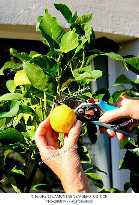 Cueillette et recolte de citron sur un citronnier en pot