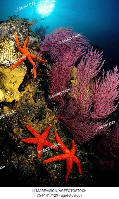 Underwater landscape: Sea Fans (Leptogorgia sarmentosa), Starfish (Echinaster sepositus), Eastern Atlantic, Galicia, Spain