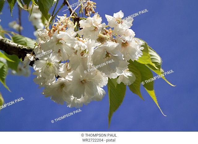 90900201, Blossom, white, tree, trees, blue, sky