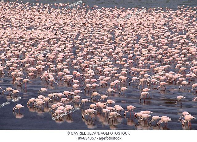 Greater flamingos Phoenicopterus ruber