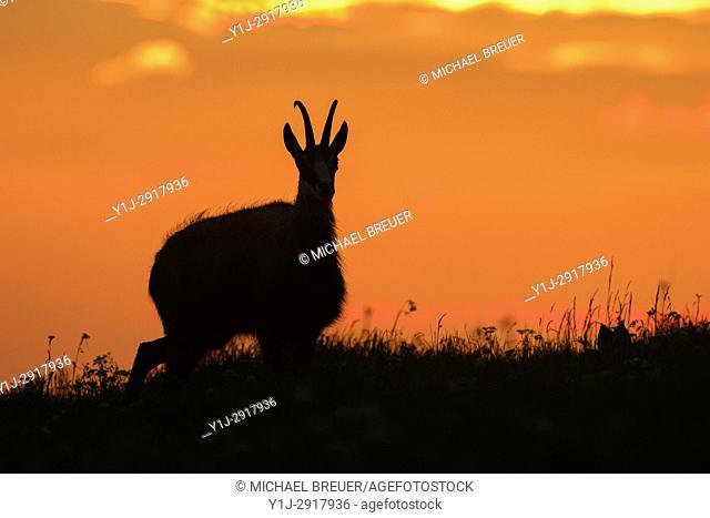 Chamois (Rupicapra rupicapra) at Sunrise, Hohneck, Vosges, Alsace, France, Europe