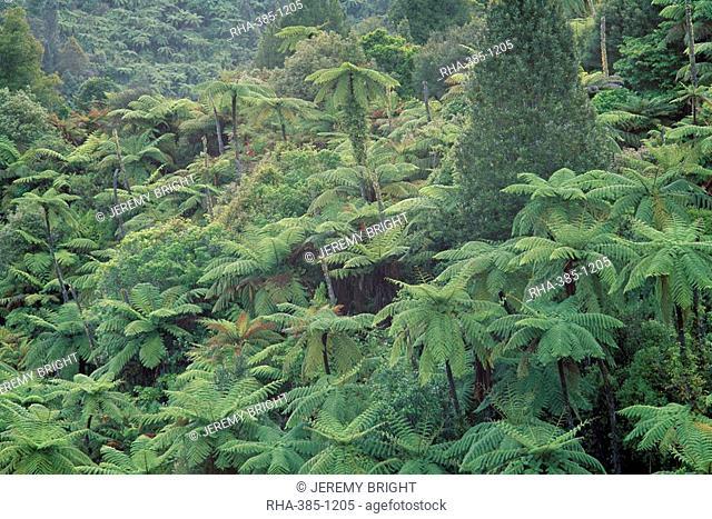 Punga, tree ferns, in the bush, Wanganui District, Taranaki, North Island, New Zealand, Pacific
